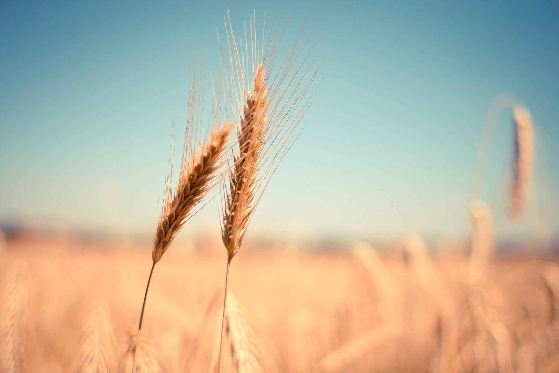 grains-field